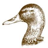 Illustration de gravure de tête de canard de mullard Image libre de droits