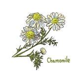 Illustration de plante médicinale Photographie stock libre de droits