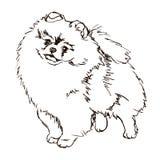 Illustration de race Pomeranian de chien illustration libre de droits