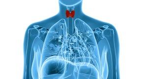 Illustration de rayon X de la glande thyroïde femelle Images libres de droits