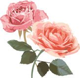 Illustration de roses de cru Photos stock