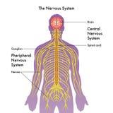 Illustration de système nerveux illustration libre de droits