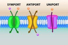 Illustration de systèmes de transport de membrane cellulaire Photographie stock