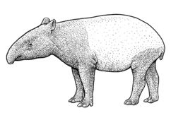 Illustration de tapir malais, dessin, gravure, encre, schéma, vecteur illustration de vecteur