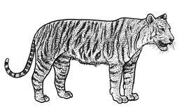 Illustration de tigre de Bengale, dessin, gravure, encre, schéma, vecteur illustration libre de droits
