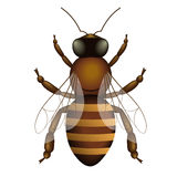 Illustration de vecteur d'abeille d'isolement sur le blanc Photos stock