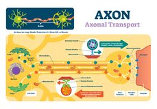 Illustration de vecteur d'axone Diagramme marqué avec l'explication et la structure illustration libre de droits