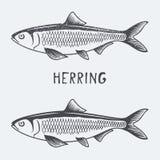 Illustration de vecteur d'harengs Photo stock