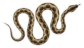 Illustration de vecteur de python Photo libre de droits