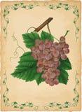 Illustration de vecteur de raisins illustration libre de droits