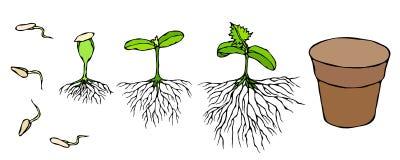Illustration de vecteur de germe et de pousse de graines avec des racines en terre Jeune plante, pousse, usine de jardinage de je Images libres de droits