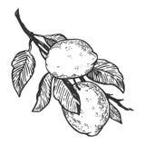 Illustration de vecteur de gravure d'agrume de citron Photographie stock