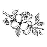 Illustration de vecteur de gravure d'usine d'abricot Images libres de droits