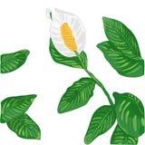 Illustration de vecteur de Lily Flower blanche illustration libre de droits