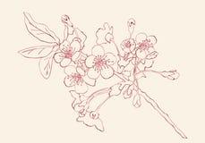 Illustration de vecteur de style de croquis de fleurs de cerisier Cherry Blossom Image libre de droits