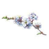Illustration der Aprikosenniederlassung mit Blumen Stockbild