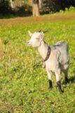 Illustration der jungen weißen Ziege am Dorfbauernhof oder -ranch lizenzfreie stockbilder