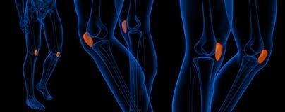 Illustration der Wiedergabe 3d der Kniescheibe lizenzfreie abbildung