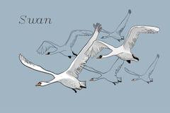 Illustration des cygnes blancs de dessin de vol Image libre de droits