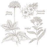 Illustration des herbes médicales ginseng, potentilla, mille-feuille illustration stock