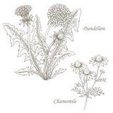Illustration des herbes médicales pissenlit, camomille illustration de vecteur
