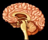 Illustration des menschlichen Gehirns Lizenzfreie Stockfotografie