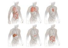 Illustration des organes humains Image libre de droits