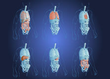 Illustration des organes humains Images libres de droits