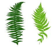 Illustration of different ferns. Isolated on white Royalty Free Stock Photos