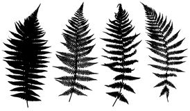 Illustration of different ferns Stock Images