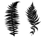Illustration of different ferns. Isolated on white Royalty Free Stock Images