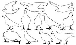 Illustration of different pigeons Stock Photo