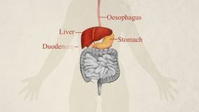 Illustration of the digestive system labelled
