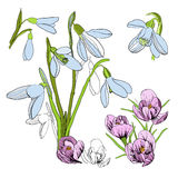 Illustration of drawing sketch of snowdrop. First Galanthus. Graphic design isolated objects for spring. Blossoming Stock Images