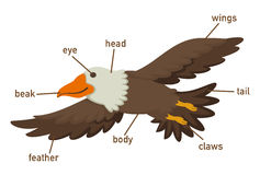 Illustration of eagles vocabulary part of body Royalty Free Stock Images