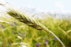 Illustration of a ear in field. Illustration of a unripe ear of wheat in field Royalty Free Stock Image