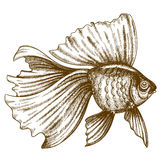 Illustration of engraving goldfish on white background Royalty Free Stock Photography