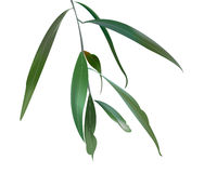 Illustration of Eucalyptus Leaves. Illustration of Australian Eucalyptus Leaves and branch Stock Photography