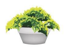 Illustration of Evergreen Plant in Flower Pot Royalty Free Stock Image