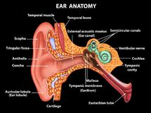Illustration of Examination ear anatomy. Illustration of the ear anatomy stock illustration