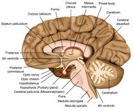 Illustration för anatomi 3d för mänsklig hjärna på vit bakgrund stock illustrationer