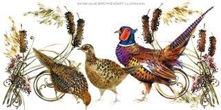 Illustration för fågelfasanvattenfärg stock illustrationer