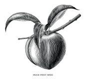 Illustration för gravyr för tappning för persikafruktfilial som isoleras på wh stock illustrationer