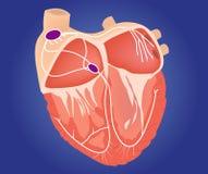 Illustration för hjärtaledningssystem Royaltyfri Foto