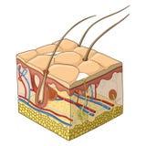Illustration för hudstrukturvektor Arkivfoton