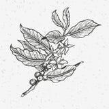 Illustration för kaffeträd stock illustrationer