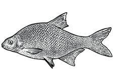 Illustration för karpbraxenfisk, teckning, gravyr, linje konst som är realistisk Stock Illustrationer