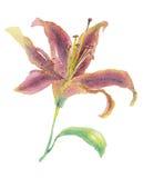 Illustration för liljablommavattenfärg Arkivfoton