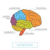 Illustration för mänsklig hjärna Stock Illustrationer