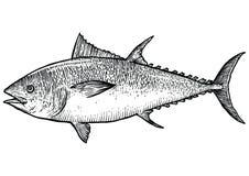 Illustration för tonfiskfisk, teckning, gravyr, linje konst som är realistisk Stock Illustrationer